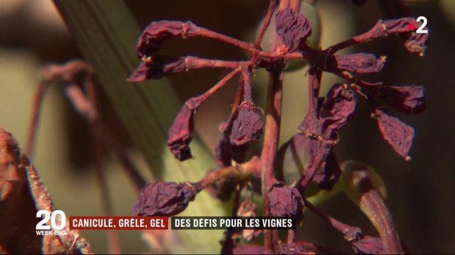 Intempéries : bientôt des vignes qui survivent au réchauffement climatique ?
