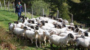 Un éleveur de brebis rassemble son troupeau (illustration). (THIERRY GACHON / MAXPPP)