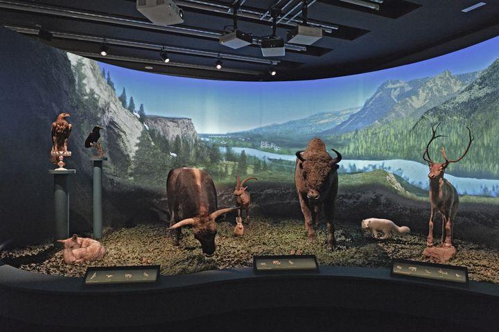 Bison, aigle royal, renard polaire... Le Musée de l'homme représente des animaux contemporains de Néandertal, le 27 mars 2018. (MNHN / JC DOMENECH)