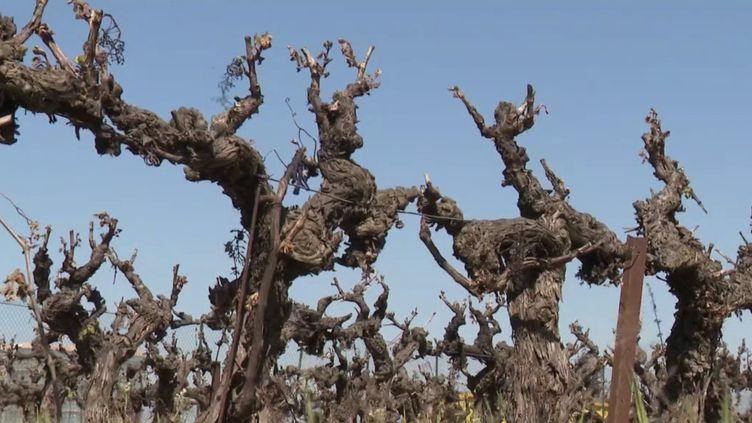 Gard : des vignobles entiers de Camargue frappés par le gel (France 3)