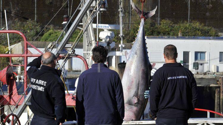 Un thon rouge débarqué d'un chalutier, pêché à deux jours de Lorient (Bretagne) au sud-ouest de l'Irlande, le septembre 2013. (THIERRY CREUX / MAXPPP)