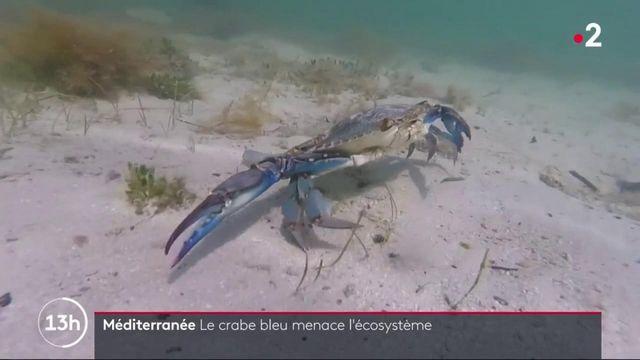 Méditerranée : le crabe bleu menace l'écosystème de notre littoral