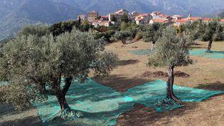 Vue d'une oliveraie à Sainte-Lucie-de-Tallano (Corse), le 4 novembre 2014. (PASCAL POCHARD-CASABIANCA / AFP)