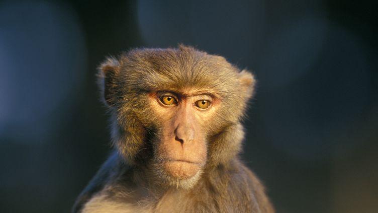 C'est sur un macaque rhésus, comme ce singe photographié au Népal, qu'un traitement préventif contre le sida a été testé avec succès par des chercheurs américains qui ont publié leur étude le 18 février 2015. (CYRIL RUOSO / BIOSPHOTO / AFP)