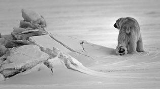 Un ours polaire dans l'archipel de Svalbard en Norvège en 2014. (LAURENT BAHEUX)