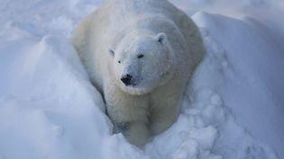 Les ours polaires sont, avant tout, des prédateurs de l'artique.  (MATHIEU BELANGER / REUTERS)