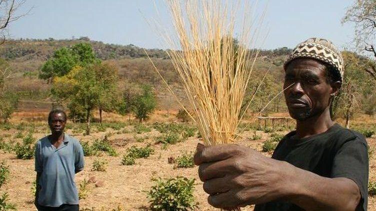 Récolte du fonio, céréale traditionnelle africaine. (libre de droits)