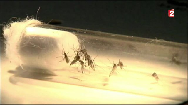 Zika : le virus peut aussi transmettre des maladies neurologiques