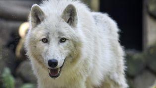 Un loup au Parc zoologique d'Amneville (Lorraine), le 23 mai 2019. (JEAN-CHRISTOPHE VERHAEGEN / AFP)