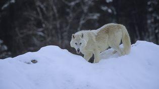Un loup arctique,en Alaska (Etats-Unis). (NOVACK N / HORIZON FEATURES / AFP)