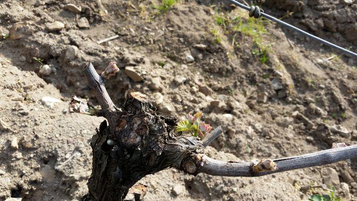 Des coteaux de Pouilly fumé détruits par les gelées de printemps. (THIBAULT LEFEVRE / RADIOFRANCE)