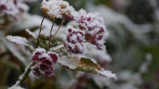Un soupçon de neige sur les fleursd'un Hydrangea. (ISABELLE MORAND / RADIO FRANCE / FRANCE INFO)