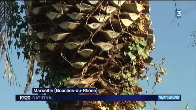 Sur la Côte d'Azur, les palmiers en danger