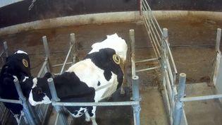 Cette image tirée d'une vidéo de l'association L214 diffusée le 20 juin 2019 montre une vache fistulée, aussi appelée vache à hublot. (HANDOUT / L214 - ?THIQUE & ANIMAUX)