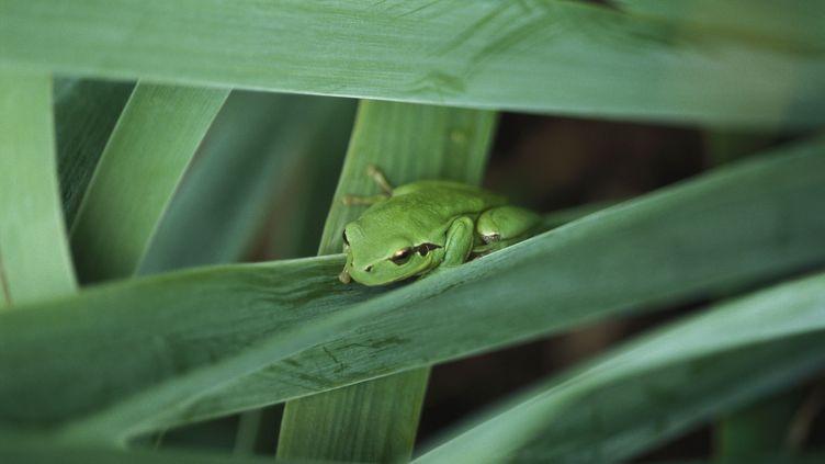 En période de reproduction, les grenouilles peuvent s'avérer extrêmement bruyantes pour le voisinage (illustration). (LAURENCE MOUTON / MAXPPP)