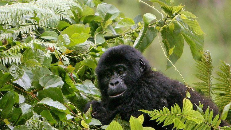 Un gorille dans le parc national Bwindi,en Ouganda, le 29 janvier 2007. (STUART PRICE / AFP)