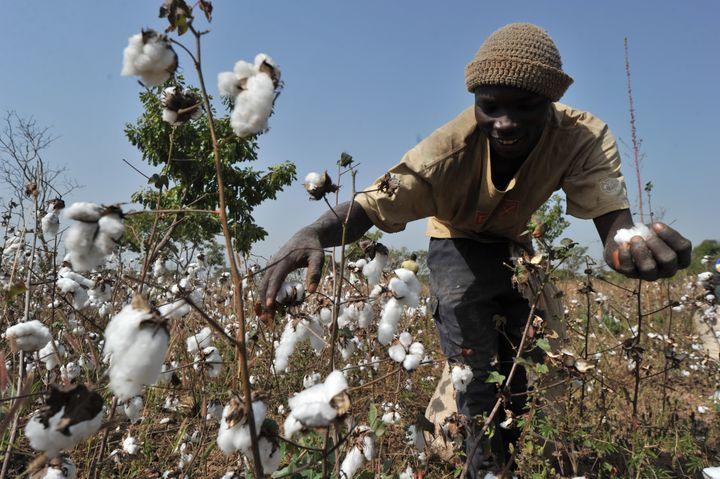 La récolte du coton dans un champ duvillage deTangafla, près de Korhogo (nord de la Côte d'Ivoire), le 10 décembre 2011 (ISSOUF SANOGO / AFP)