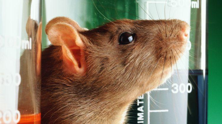 Des chercheurs de l'université de Zurich (Suisse) ont utilisé la stimulation électrique et chimique sur les rats. (G ROBERT BISHOP / GETTY)