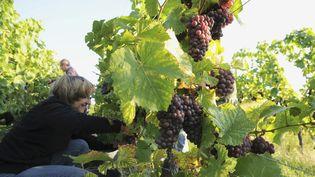 Les vendanges en Alsace emploient 20 000 saisonniers. (DUMOULIN CHRISTOPHE / AFP)