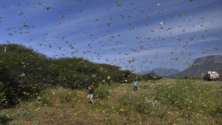 Un essaim de criquets pèlerins dans un village du Kenya en janvier 2020. (TONY KARUMBA / AFP)