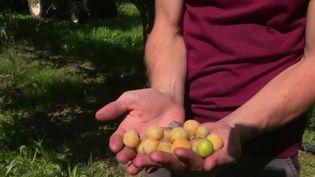 Dans le Haut-Rhin, les producteurs de mirabelles sont désabusés, car les conditions climatiques ont abîmé les vergers. (CAPTURE ECRAN FRANCE 2)