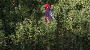 Un agriculteur masqué marche dans un champ de cannabis près de la ville de Ketama, dans le nord du Rif au Maroc, le 12 septembre 2017. (FADEL SENNA / AFP)