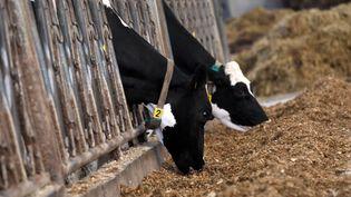 Des vaches dans une exploitation à Roncq (Nord), le 9 avril 2015. (THIERRY THOREL / CITIZENSIDE / AFP)