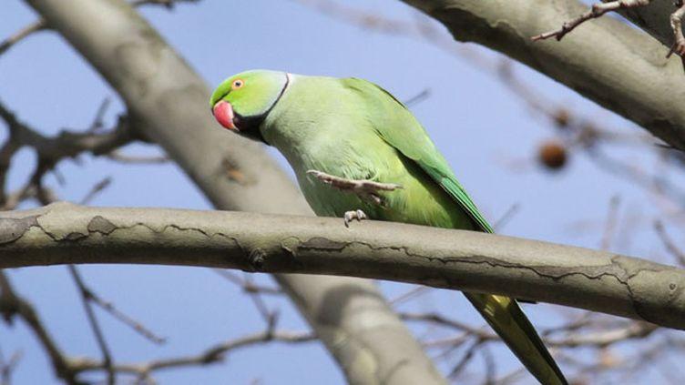 (Les perruches à collier se sont installées dans les parcs parisiens)