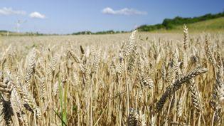 Un champ de blé à Longeville-lès-Saint-Avold, en Moselle, le 31 mars 2015. (THIERRY GRUN / ONLY FRANCE / AFP)