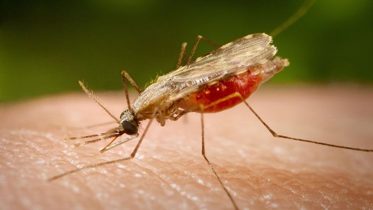 Femelle Anophèle, principal vecteur du paludisme. (CDC-GATHANY / PHANIE / AFP)