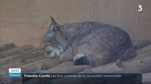 Biodiversité : le lynx, une espèce à protéger de toute urgence