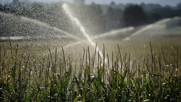 Un champs de maïs arrosé à Crest (Drôme) le 1 août 2011. (JEAN-PHILIPPE KSIAZEK / AFP)