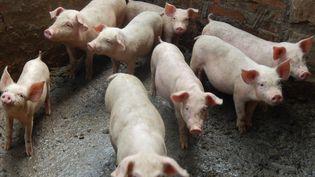 Des porcs d'une ferme du comté deYunyang, en Chine, le 14 juillet 2019. (CHEN JIANHUA / IMAGINECHINA / AFP)