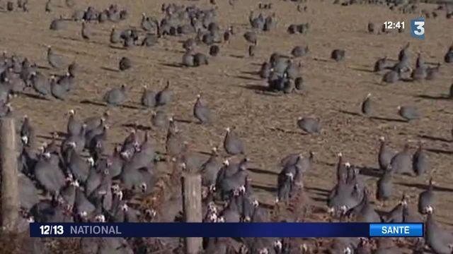 La grippe aviaire de retour dans les Landes