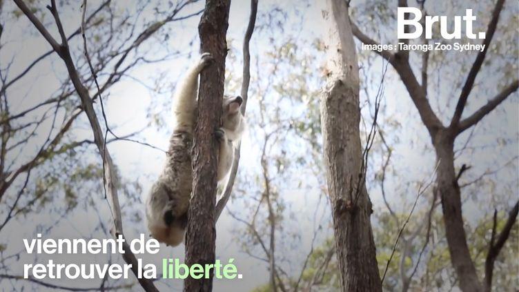 VIDEO. En Australie, les koalas sauvés des récents incendies retrouvent la liberté (BRUT)