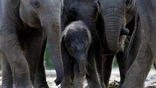 Des éléphants dans le zoo et jardin botanique de Brugelette (Belgique), le 20 septembre 2017. (FRANCOIS LENOIR / REUTERS)