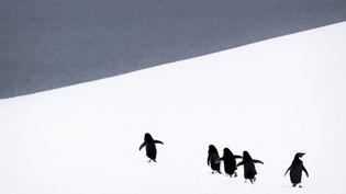 Des manchots d'Adélie tentent de rejoindre la mer, en Antarctique. (MERIL DAREES & MANON MOULIS / BIOSPHOTO / AFP)