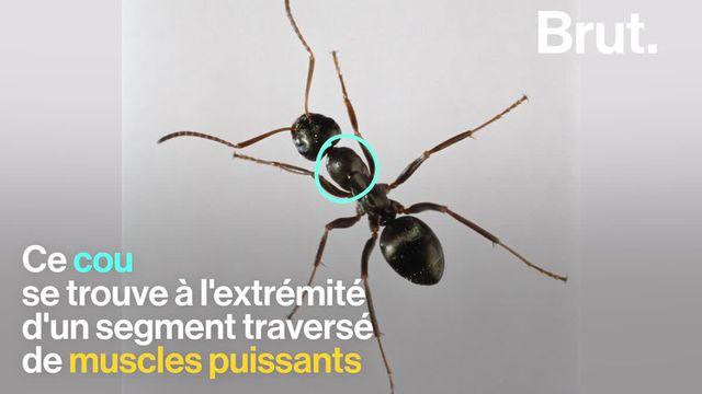 Elles sont minuscules mais ont une force considérable. Les fourmis sont, en effet, connues pour soulever jusqu'à mille fois leur poids. Mais d'où ces insectes puisent-ils cette cette puissance spectaculaire ?