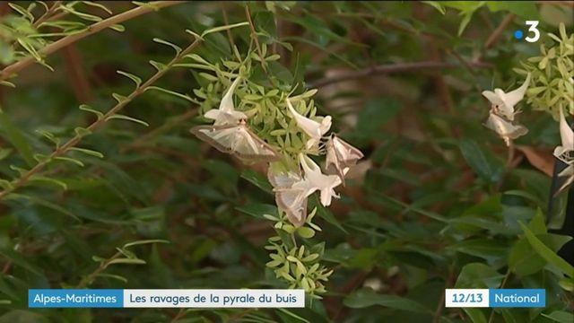 Dans les Alpes-Maritimes, la pyrale du buis fait des ravages
