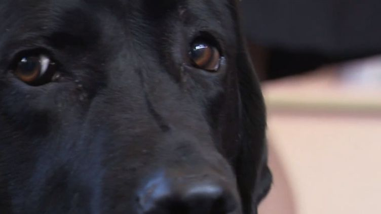 Dans les salles d'audience, il y a les avocats, les magistrats, et désormais, dans certaine, il y a aussi un chien.À Cahors, dans le Lot, un labrador de cinq ans est là pour apaiser les victimes appelées à témoigner devant la justice. (CAPTURE ECRAN FRANCE 3)