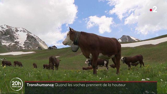 Haute-Savoie : l'heure de la transhumance pour les vaches laitières
