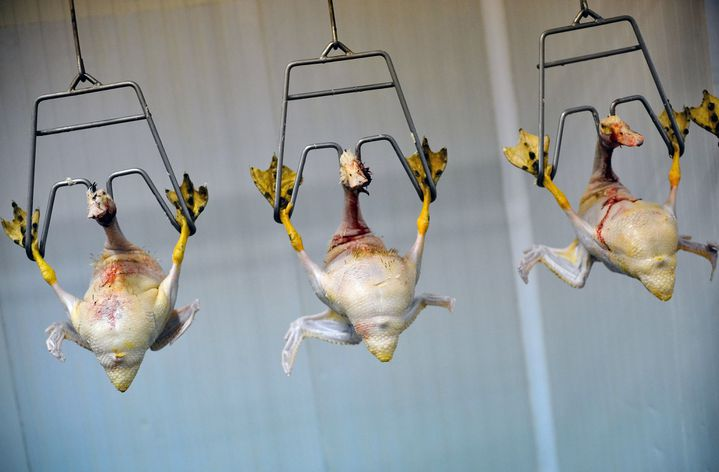 Gavés, déplumés, ces canards bulgares seront bientôt découpés pour livrer leur foie gras. (DIMITAR DILKOFF / AFP)