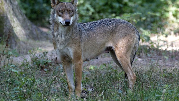 Une louve a été retrouvée pendue devant la mairie de Saint-Bonnet-en-Champsaur -Hautes-Alpes) ce vendredi 24 septembre. (MARTIN BUREAU / AFP)
