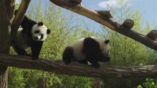 Belgique : dans les coulisses du zoo Pairi Daiza, qui a accueilli deux pandas jumeaux (France 2)