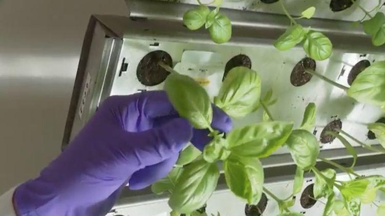 Une expérience du futur inédite est actuellement menée en France dans une exploitation du Gard.Des centaines de plantes sont cultivées dans des cylindreshigh-tech. (France 2)