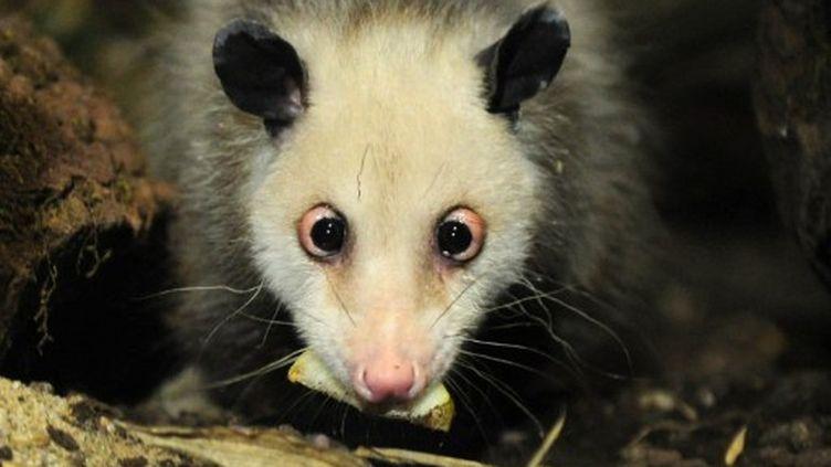Heidi, l'opossum qui louche, est décédée le 28 septembre 2011 à Leipzig. (JOHANNES EISELE / AFP)