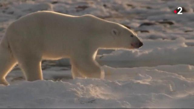 Environnement : l'ours polaire menacé par la fonte de la banquise