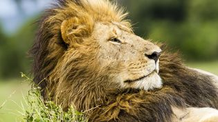 Contrairement au Kenya, où ce lion d'Afrique a été photographié, le Gabon ne compte plus de lion sauvage depuis 1996. Mais un mâle a récemment été observé,dans le parc national des plateaux Batéké, dans le sud-est du pays. (MICHEL DENIS-HUOT / HEMIS.FR / AFP)