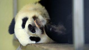La femelle panda Huan Huan du zoo de Beauval (Loir-et-Cher) a accouché de deux bébés le 4 août 2017. (GUILLAUME SOUVANT / AFP)