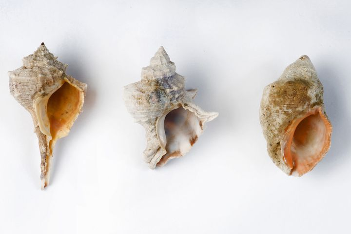 Série de coquillages d'espèces de mollusques indigènes de la mer Méditerranée qui seraient à l'origine de fragments de colorant violet trouvés sur le site de fouille de la vallée de Timna, 31 janvier 2021 (SHACHAR COHEN / ISRAELI ANTIQUITIES AUTHORITY)